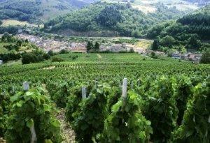 beaujolais-vineyards