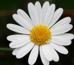 white-daisy