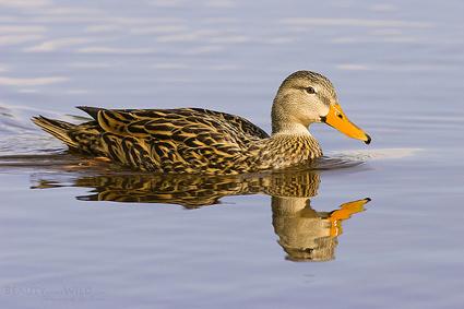 mottled_duck_sim_1