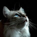 gray-cat1