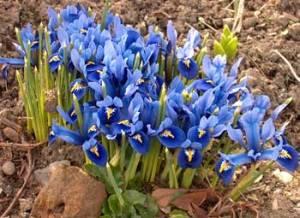 Dwarf-Iris