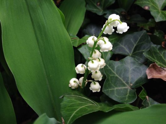 LilyoftheValley