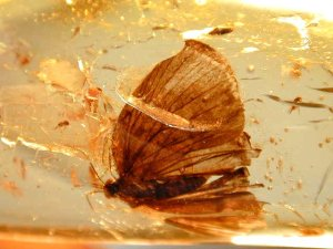 amber-inclusions-butterfly