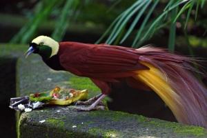 Paradisaea_apoda_-Bali_Bird_Park-6