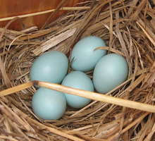 220px-Bluebird_eggs