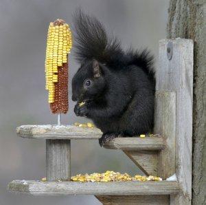 kent-black-squirreljpg-795c71a9cf6ef094