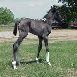 foal_blackminimaltobi
